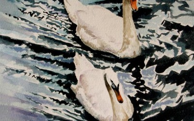 Swans a swimming